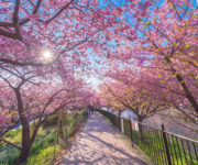 Missing Out On Cherry Blossom? See Everything You Need To Here